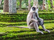 Thoughtful monkey  Stock Photography