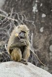 Thoughtful yellow baboon Royalty Free Stock Photo