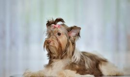 Thoughtful Yorkshire Terrier Stock Photos