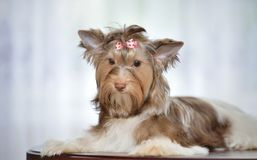 Thoughtful Yorkshire Terrier Royalty Free Stock Images