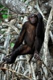 Thoughtfulness. The chimpanzee sits on a branch of a tree and thoughtfully looks Royalty Free Stock Photo
