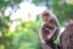 Thoughthul monkey siting on rock and eating corn Royalty Free Stock Images