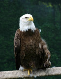 Thoughts of Freedom. Bald Eagle stock photos