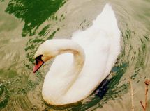 Thoughts of swan Stock Photos