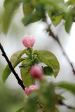 Thouin kwiat Zdjęcie Royalty Free