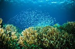 Thousand fish  bunaken sulawesi indonesia underwater Royalty Free Stock Photo