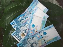 Thousand peso bills. Money growing on trees? Philippine peso bills on a plant royalty free stock image