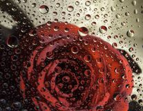 A thousand roses. In raindrops during raine seasons and Valentine Stock Image