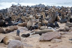 Seal colony, Namibia Royalty Free Stock Photos