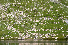 Thousand of sheep Royalty Free Stock Images
