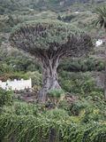 Thousand-year-old dragon tree. Legends say that when dragons die they become dragon trees Stock Photos