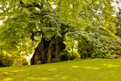 Thousand years old linden tree Royalty Free Stock Photo