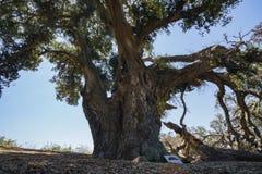 Thousand years old Oak Tree of Lavender Festival of 123 Farm. At San Bernardino, Los Angeles County, United States Stock Photo