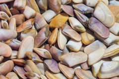 Thousands of Abrupt Wedge Shells in a container after harvest. Thousands of Abrupt Wedge Shells in a container full of sea water after the harvest stock photography