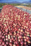 Thousands of apples Royalty Free Stock Photo