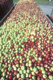 Thousands of apples being driven to process after the harvest in NY Royalty Free Stock Image