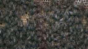 Thousands of bees on honeycombs with honey. Bees collecting nectar and putting into hexagonal cells after returning to beehive.  stock video footage