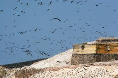 Thousands of Birds over Ballestas Islands Stock Photography