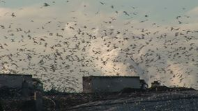 Thousands of birds over refuse tip. Trash and rubbish with trucks and birds stock video