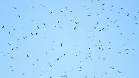Thousands of black birds circling in the sky