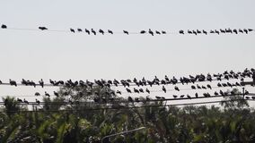 Hundreds and thousands of blue pigeons perched on electric wires, the danger of breaking the wires after feeding in the field and