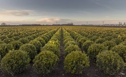 Thousands of buxus bulbs are grown at the tree nursery royalty free stock images
