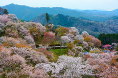 Thousands of cherry trees blossom on Mount Yoshino during spring in Nara Prefecture, Japan Stock Images