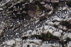 Thousands of Common Murres line the ledges of a sea cliff Royalty Free Stock Photo