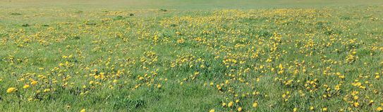 Thousands of dandelions are blooming on a green meadow. Stock Images