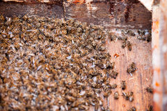 Thousands dead honey bees. Royalty Free Stock Photo