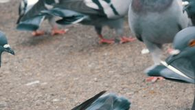 Thousands of different city pigeons who fly, flap the wings, peck. Many pigeons close up view