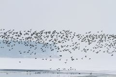 Thousands of ducks fly over the freezing river. Winter, landscapes, textures and animals Royalty Free Stock Photo