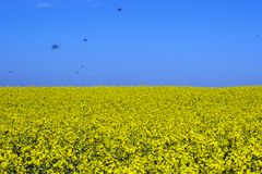 Thousands of insects over the field of flowering rape Royalty Free Stock Image