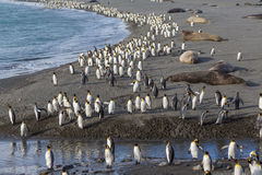 Thousands of King Penguins march to safety Royalty Free Stock Photo