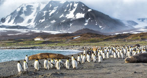 Thousands of King Penguins run from Kabaltic winds in St. Andrews Bay, South Georgia stock photography
