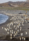 Thousands of King Penguins run from sandstorm Stock Photography