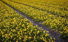 Thousands of miniature daffodils growing in Netherlands fields Royalty Free Stock Images