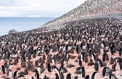 Free Thousands Of Adelie Penguins At Brown Bluff On The Antarctic Peninsula Stock Image - 208076521