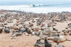 Thousands Of Cape Fur Seals, Arctocephalus Pusillus, At Cape Cross Royalty Free Stock Images