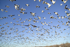 Thousands Of Snow Geese Fly Against Blue Sky Over The Bosque Del Apache National Wildlife Refuge, Near San Antonio And Socorro, Ne Royalty Free Stock Image