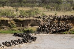 Thousands Of Wildebeest In Annual Migration In Tanzania Stock Photos