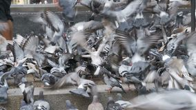 Thousands of Pigeons Crowd on Sidewalk Eating Bread. Lot of pigeons eat food on the street. Flock of pigeons eating bread outdoors in the city street. Feeding stock video