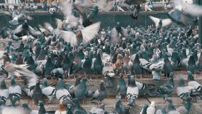 Thousands of Pigeons Crowd on Sidewalk Eating Bread. Lot of pigeons eat food on the street. Flock of pigeons eating bread outdoors in the city street. Feeding stock footage