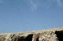 Thousands of seabirds on the Ballestas Islands Stock Photography