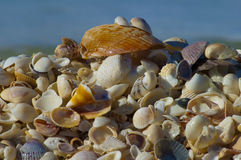 Thousands of shells. Pile of colorful shells built up on the beach from the tides rolling in. Great looking shells with bright colors on Sanibel Island Florida Stock Images
