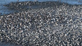 Thousands of Shorebirds on an Island in the Middle of the Marsh