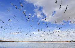 Thousands of snow geese Stock Photography