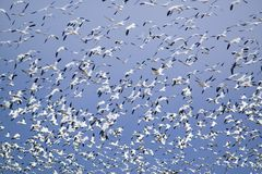 Thousands of snow geese fly against blue sky over the Bosque del Apache National Wildlife Refuge, near San Antonio and Socorro, Ne Stock Image