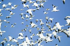 Thousands of snow geese fly against blue sky over the Bosque del Apache National Wildlife Refuge, near San Antonio and Socorro, Ne Royalty Free Stock Photography