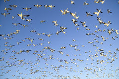 Thousands of snow geese fly against blue sky over the Bosque del Apache National Wildlife Refuge, near San Antonio and Socorro, Ne Royalty Free Stock Photos